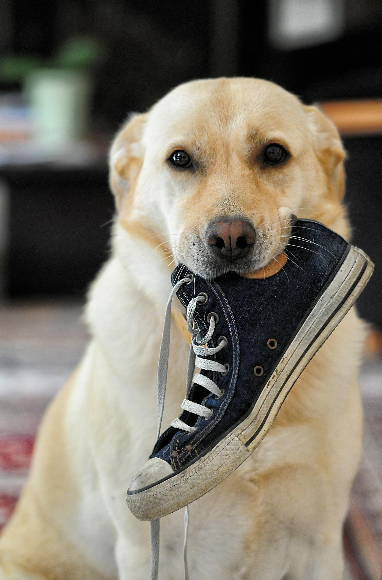 chien chaussure